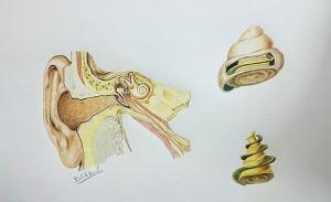 Belal-Kemal-Study-of-cochlear-anatomy